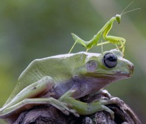 Praying Mantis Frog