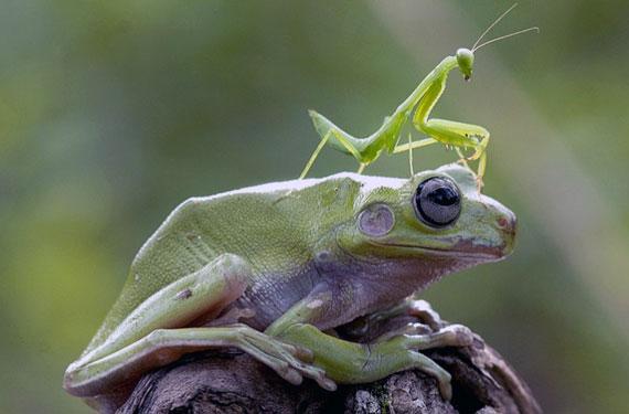 Praying Mantis Frog