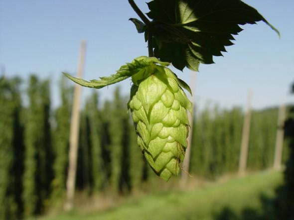 hop-flower