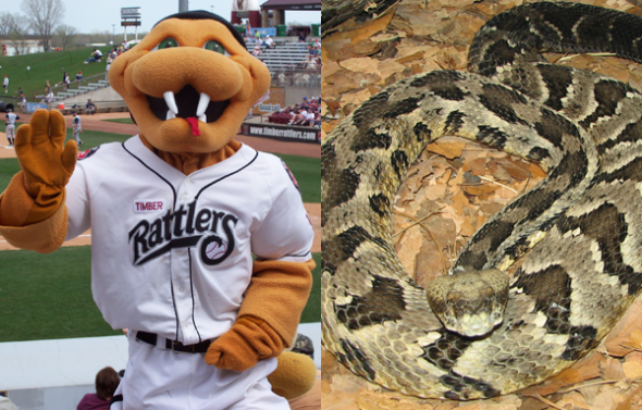 On the left: Mascot Fang in the team's original logo. On the right: An actual timber rattlesnake.