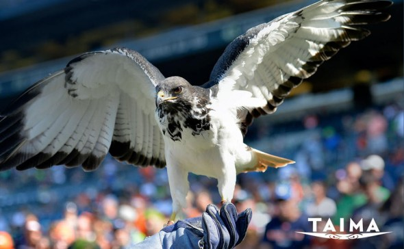 Taima the Augur Hawk. Via Seahawks.com.