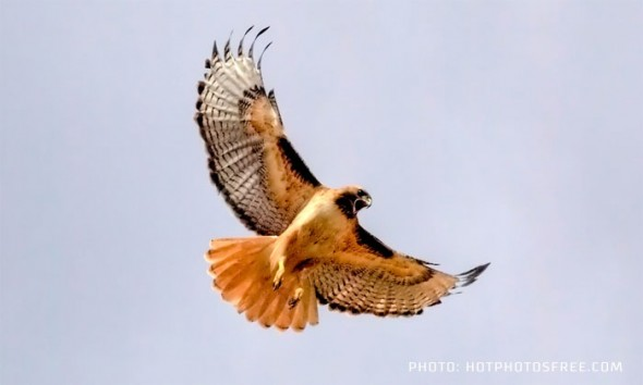 Or could it be a desert hawk?